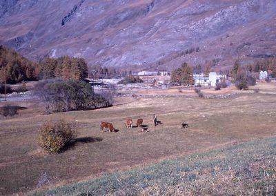 La Goulaz travaux EDF et garde du bétail