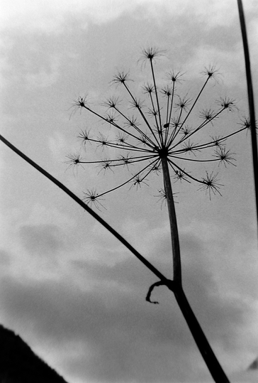 Ombellifère fanée photo Peter Guggenbühl 1967