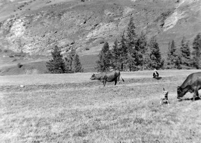 Vaches au Fossas photo Peter Guggenbühl