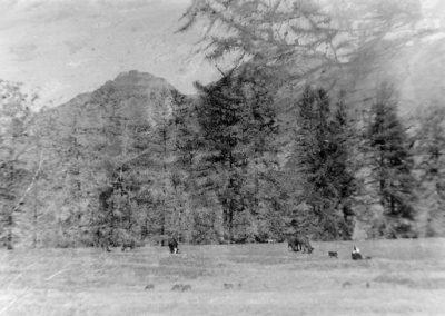 Vaches au Fossas photo Peter Guggenbühl 1967